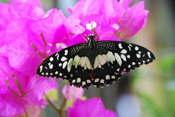 Black-white butterfly